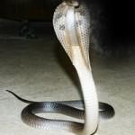 azijska kobra